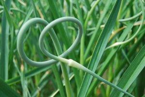 garlicscapeonplant